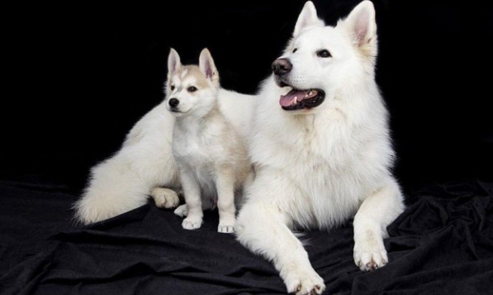 Como presentar a un perro adulto con un cachorro