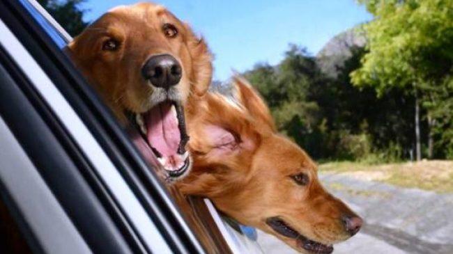 ¿Por qué los perros les gusta pasear en coche?